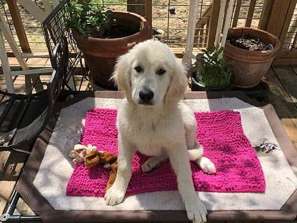 Pup in training at Dogsamust