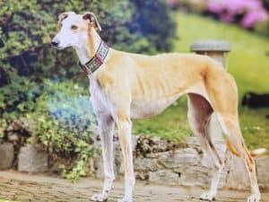 Spanish Greyhound